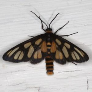 Amata (genus) at Ainslie, ACT - 6 Dec 2019
