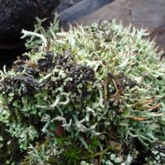 Cladonia sp. (A Lichen) at Carwoola, NSW - 16 Aug 2020 by JanetRussell