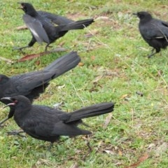 Corcorax melanorhamphos (White-winged Chough) at Red Hill Nature Reserve - 15 Aug 2020 by JackyF