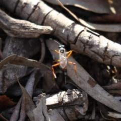 Gotra sp. (genus) (Unidentified Gotra ichneumon wasp) at Majura, ACT - 6 Dec 2019 by jbromilow50