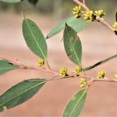 Eucalyptus imitans (Illawarra Stringybark) at Bamarang, NSW - 19 Aug 2020 by plants