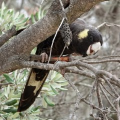 Calyptorhynchus funereus (Yellow-tailed Black-cockatoo) at Tathra, NSW - 19 Aug 2020 by MaxCampbell