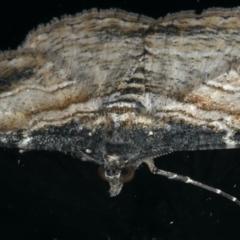 Syneora euboliaria at Ainslie, ACT - 7 Dec 2019