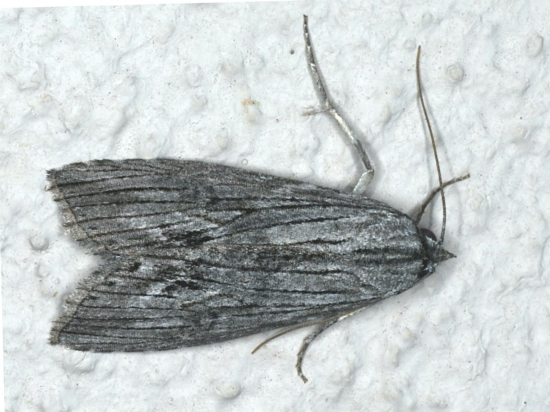 Capusa (genus) at Ainslie, ACT - 7 Dec 2019