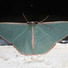 Chlorocoma (genus) (Emerald moth) at Ainslie, ACT - 7 Dec 2019 by jbromilow50