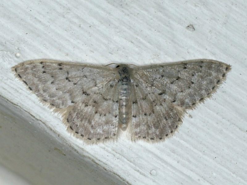 Idaea philocosma at Ainslie, ACT - 7 Dec 2019