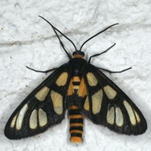 Amata (genus) at Ainslie, ACT - 7 Dec 2019