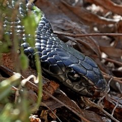 Pseudechis porphyriacus (Red-bellied Black Snake) at Brogo, NSW - 20 Aug 2020 by MaxCampbell
