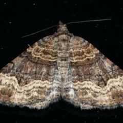 Epyaxa subidaria (Subidaria Moth) at Ainslie, ACT - 8 Dec 2019 by jbromilow50