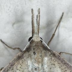 Epidesmia hypenaria at Ainslie, ACT - 8 Dec 2019