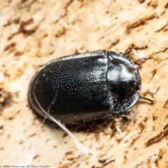 Pterohelaeus striatopunctatus (Darkling beetle) at Majura, ACT - 19 Aug 2020 by Roger