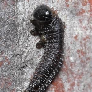 Perga sp. (genus) at ANBG - 4 Aug 2020