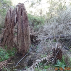Dicksonia antarctica at Brogo, NSW - 20 Aug 2020