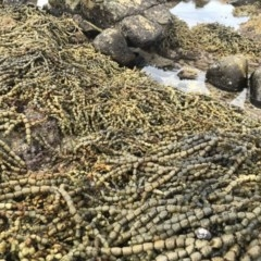 Unidentified Seaweed / Seagrass (TBC) at Mimosa Rocks National Park - 26 Mar 2020 by Rose