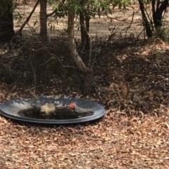 Callocephalon fimbriatum (Gang-gang Cockatoo) at Bournda Environment Education Centre - 18 Nov 2019 by Rose