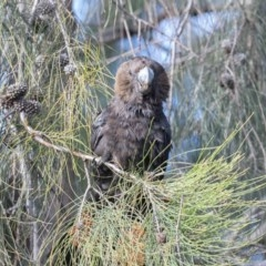 Calyptorhynchus lathami (Glossy Black-Cockatoo) at Stirling, ACT - 20 Aug 2020 by rawshorty
