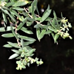 Monotoca elliptica (Tree Broom-heath) at Seven Mile Beach National Park - 21 Aug 2020 by plants