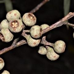 Eucalyptus pilularis (Blackbutt) at Seven Mile Beach National Park - 21 Aug 2020 by plants