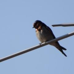Hirundo neoxena (Welcome Swallow) at Wodonga - 20 Sep 2019 by WingsToWander