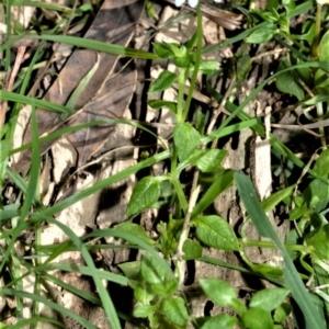 Stellaria flaccida at Seven Mile Beach National Park - 21 Aug 2020