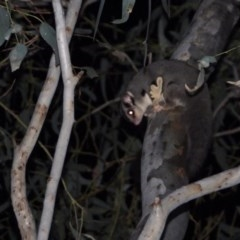 Petaurus norfolcensis (Squirrel Glider) at Wonga Wetlands - 24 Aug 2020 by WingsToWander