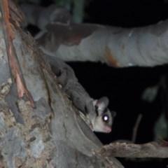 Petaurus norfolcensis (Squirrel Glider) at Wodonga - 23 Jan 2020 by WingsToWander