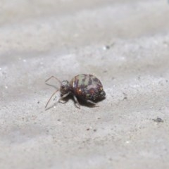 Symphypleona sp. (order) (Globular springtail) at ANBG - 4 Aug 2020 by TimL