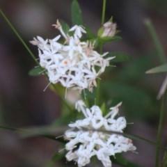 Pimelea linifolia (Slender Rice Flower) at Moruya, NSW - 21 Aug 2020 by LisaH