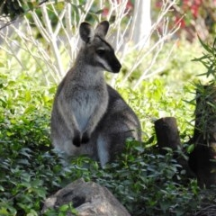 Macropus rufogriseus (Red-necked Wallaby) at Chapman, ACT - 21 Aug 2020 by HelenCross