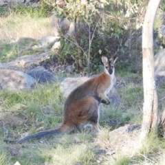 Macropus rufogriseus (Red-necked Wallaby) at Cooleman Ridge - 21 Aug 2020 by HelenCross