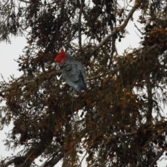Callocephalon fimbriatum (Gang-gang Cockatoo) at O'Connor, ACT - 9 Aug 2020 by ClubFED