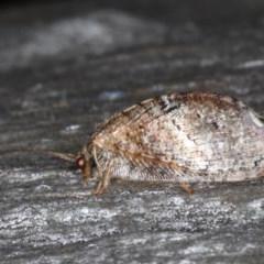 Drepanacra binocula (Brown Lacewing) at Majura, ACT - 20 Aug 2020 by jbromilow50