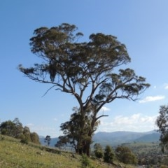 Eucalyptus melliodora (Yellow Box) at Rob Roy Range - 31 Mar 2020 by michaelb