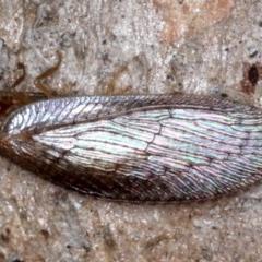 Psychobiella sp. (genus) (Brown Lacewing) at Majura, ACT - 20 Aug 2020 by jbromilow50