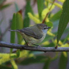 Acanthiza lineata (Striated Thornbill) at Moruya, NSW - 21 Aug 2020 by LisaH