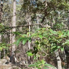 Alphitonia excelsa (Red Ash) at Murramarang National Park - 10 May 2020 by Sybille