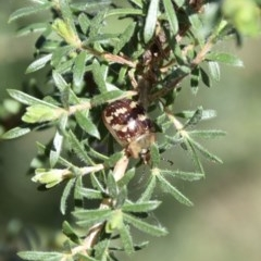 Paropsis pictipennis (Leaf beetle) at WI Private Property - 22 Aug 2020 by wendie