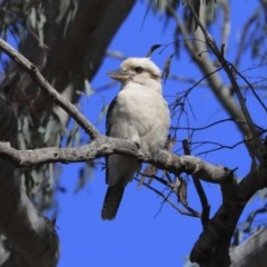 Dacelo novaeguineae (Laughing Kookaburra) at Acton, ACT - 20 Aug 2020 by Alison Milton