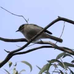 Caligavis chrysops (Yellow-faced Honeyeater) at ANBG - 20 Aug 2020 by Alison Milton