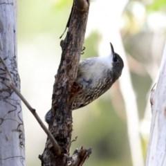 Cormobates leucophaea (White-throated Treecreeper) at ANBG - 20 Aug 2020 by Alison Milton