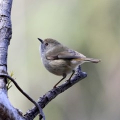 Acanthiza pusilla (Brown Thornbill) at ANBG - 20 Aug 2020 by Alison Milton