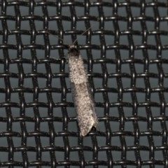 Conoeca guildingi (A case moth) at Higgins, ACT - 10 Jun 2020 by AlisonMilton