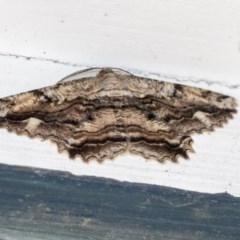 Scioglyptis lyciaria (White-patch Bark Moth) at Higgins, ACT - 3 Apr 2020 by AlisonMilton