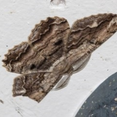Scioglyptis lyciaria (White-patch Bark Moth) at Higgins, ACT - 22 Mar 2020 by AlisonMilton