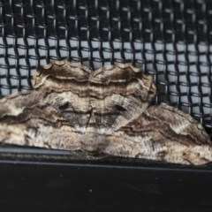 Scioglyptis lyciaria (White-patch Bark Moth) at Higgins, ACT - 3 Apr 2020 by AlisonMilton