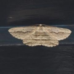 Euphronarcha luxaria (Striated Bark Moth) at Higgins, ACT - 29 Mar 2020 by AlisonMilton