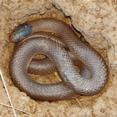 Parasuta flagellum (Little Whip-snake) at Turallo Nature Reserve - 22 Aug 2020 by tpreston
