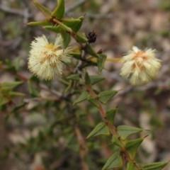 Acacia gunnii (Ploughshare Wattle) at Black Mountain - 23 Aug 2020 by pinnaCLE