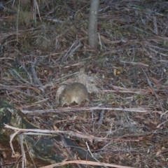 Isoodon obesulus (Southern Brown Bandicoot) at Tidbinbilla Nature Reserve - 23 Aug 2020 by lydialuc