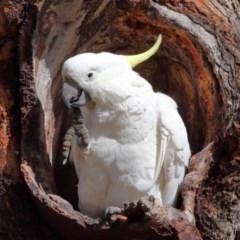 Cacatua galerita (Sulphur-crested Cockatoo) at Mount Majura - 21 Aug 2020 by Tim L